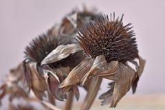 干有机海胆亚目purpurea草本 免版税库存图片