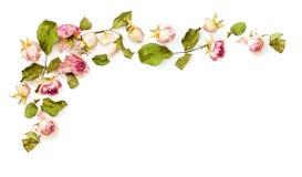 干桃红色玫瑰开花壁角安排 图库摄影