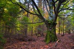干森林中间老结构树年轻人 免版税库存图片
