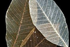 干橡胶树骨骼叶子 免版税库存图片