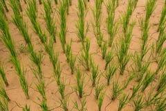 干水稻 免版税库存照片