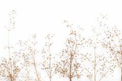 干灌木的抽象棕色枝杈与小开放蒴种子,花的,隔绝了在白色背景的元素剪贴薄的 免版税库存图片