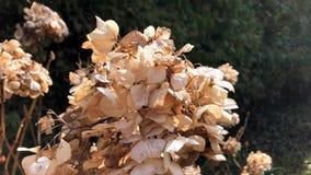干燥八仙花属烘干了花风太阳光庭院秋天 影视素材