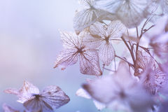 干燥八仙花属花卉背景 免版税库存图片