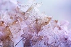 干燥八仙花属花卉背景 库存图片