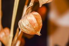 干燥分支中国phyllis灯笼桔子背景 免版税库存图片