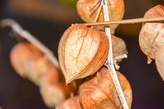 干燥分支中国phyllis灯笼桔子背景 免版税库存照片