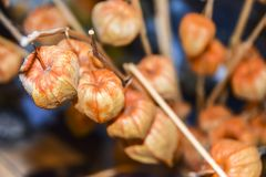 干燥分支中国phyllis灯笼桔子背景 免版税图库摄影
