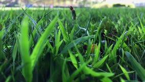干燥叶子在绿草摇摆在大风天 影视素材