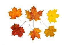 干燥叶子槭树 图库摄影