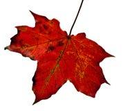 干燥叶子槭树 免版税库存图片