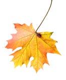 干燥叶子槭树 库存图片