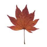 干燥叶子槭树 免版税库存照片