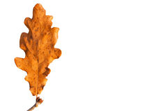 干燥叶子橡木 免版税库存照片