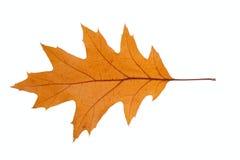 干燥叶子橡木 免版税图库摄影