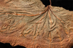 干燥叶子的纹理片段 免版税库存图片