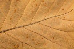 干燥叶子的Venation样式 库存照片