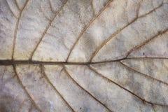 干燥叶子纹理的射击在一种退色的金子颜色的 免版税库存照片