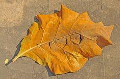 干燥叶子 免版税图库摄影