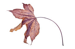 干燥叶子 免版税库存照片