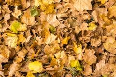 干燥和绿色橡木在地面上离开 秋天背景纹理 免版税库存照片