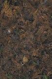 干燥圣诞树针在地面上的森林里 免版税库存图片