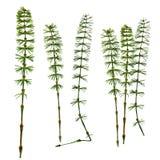 干燥在白色b的秋天绿色叶子木贼属植物被隔绝的被按的叶子 免版税库存图片