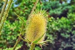 干燥多刺的草 在绿色背景的起毛机特写镜头 库存图片