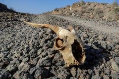 干燥山羊头骨骨头,山羊头骨背景在沙漠 免版税库存照片