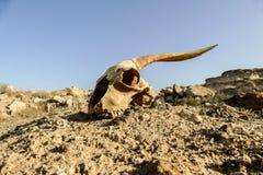 干燥山羊头骨骨头,山羊头骨背景在沙漠 库存图片