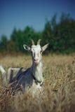 干燥山羊草 库存图片