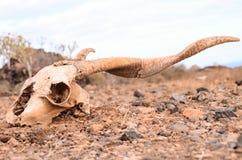 干燥山羊头骨 免版税库存照片