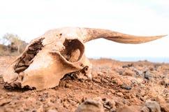干燥山羊头骨 库存照片