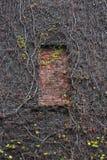 干燥常春藤在一个老砖墙上分支 窗口放置与砖 秋天背景特写镜头上色常春藤叶子橙红 免版税库存图片