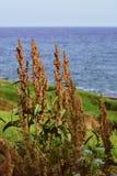 干燥庄稼和蓝色海接近的射击有种子和草的在背景中 库存照片