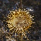 干燥开花的花,金黄颜色有一个多刺的容器,疏散的种子 库存照片