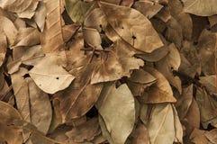 干燥月桂树 免版税库存照片