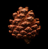 干燥杉木锥体 免版税库存图片