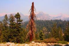 干燥杉树&内华达山 免版税库存照片