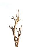 干燥枝杈。 库存照片
