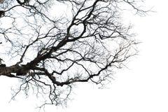 干燥枝杈 免版税库存照片