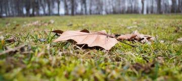 干燥枫叶在公园秋天早晨 免版税图库摄影
