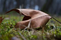 干燥枫叶在公园秋天早晨 库存照片