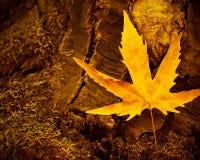 干燥枫叶 免版税图库摄影