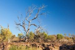 干燥树。碎片范围。南澳大利亚 库存图片