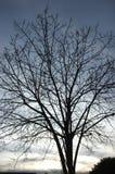 干燥树剪影  免版税库存图片