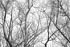 干燥树后面和白色 免版税图库摄影