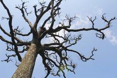 干燥树和天空 图库摄影