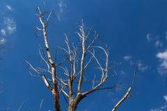 干燥树和天空 库存图片