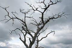干燥树灰色分支反对多云天空的 免版税图库摄影
